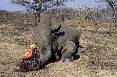 Dead white rhino with horns removed Africa,nature,animal,CITES,trade,wildlife,wildlife trade,vertebrate,vertebrates,Mammalia,mammal,mammals,rhinoceros,rhino,rhinos,killed,dead,poaching,poached,poach,poacher,poachers,blood,brutal,conserv