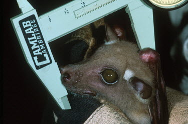 Researchers take measurements from a fruit bat in the Congo Africa,conservation,conservation action,research,bat,bats,fruit bats,fruit bat,head,measure,measurements,caliper,calipers,scientist,hand,hold,holding,glove,night,nocturnal