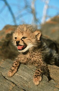 Cheetah six week old cubs Africa,carnivores,carnivore,predator,predators,mammal,mammals,cat,cats,big cat,big cats,lesser cat,lesser cats,fastest land mammal,Vulnerable,threatened species,cub,cute,fluffy,tongue,happy,shallow fo
