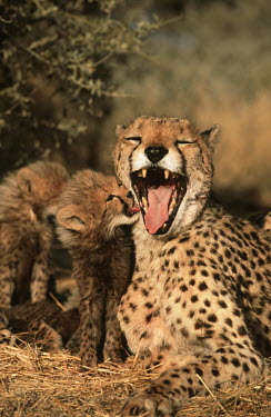 Cheetah Six week old cubs with mother Africa,carnivores,carnivore,predator,predators,mammal,mammals,cat,cats,big cat,big cats,lesser cat,lesser cats,fastest land mammal,Vulnerable,threatened species,cub,cubs,mother,adult,young,cute,fluffy