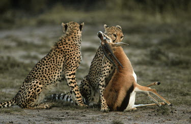 Cheetah with freshly killed prey Africa,carnivores,carnivore,mammal,mammals,cat,cats,big cat,big cats,lesser cat,lesser cats,fastest land mammal,Vulnerable,threatened species,predator,predators,prey,antelope,kill,killed,bite,biting,t
