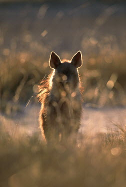 Brown hyaena Africa,carnivores,carnivore,mammal,mammals,hyaena,hyena,hyaenas,hyenas,brown hyaena,brown hyena,scavenger,shaggy coat,furry,low light,evening light,obscured,halo,silhouette,silhouettes,abstract,Carniv