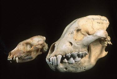 Skulls of brown hyaena and smaller aardwolf comparing jaws Africa,carnivores,carnivore,mammal,mammals,hyaena,hyena,hyaenas,hyenas,brown hyaena,brown hyena,scavenger,skull,bone,bones,teeth,specimen,black background,compare,comparison,jaw,jaws,diet,Carnivores,C
