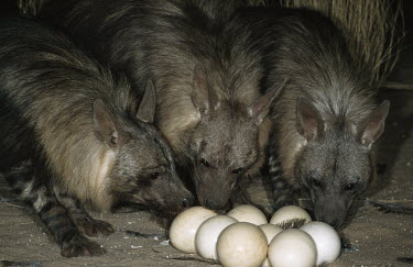 Brown Hyaena raiding ostrich nest to eat the eggs Africa,carnivores,carnivore,mammal,mammals,hyaena,hyena,hyaenas,hyenas,brown hyaena,brown hyena,scavenger,shaggy coat,furry,eating,eat,feeding,feed,night,flash,raid,raiding,three,pack,group,eggs,nest,