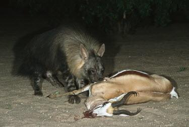 Brown Hyaena feeding on dead springbok Africa,carnivores,carnivore,mammal,mammals,hyaena,hyena,hyaenas,hyenas,brown hyaena,brown hyena,scavenger,shaggy coat,furry,eating,eat,feeding,feed,blood,gore,dead,antelope,Carnivores,Carnivora,Mammal