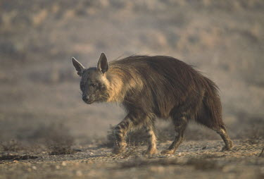 Brown Hyaena - a secretive predator and scavenger of the arid areas of Southern Africa Africa,carnivores,carnivore,mammal,mammals,hyaena,hyena,hyaenas,hyenas,brown hyaena,brown hyena,scavenger,shaggy coat,furry,side view,habitat,shallow focus,Carnivores,Carnivora,Mammalia,Mammals,Chorda