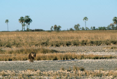Brown Hyaena on salt pans Africa,carnivores,carnivore,mammal,mammals,hyaena,hyena,hyaenas,hyenas,brown hyaena,brown hyena,scavenger,shaggy coat,furry,habitat,salt pan,salt pans,landscape,negative space,shallow focus,walking,mo