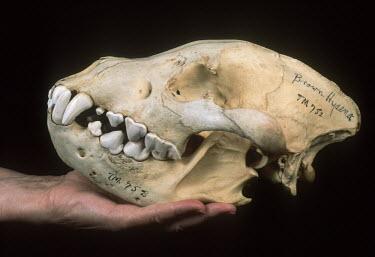 Brown Hyaena skull showing large canine & incisor teeth adapted to tearing flesh and breaking bones Africa,carnivores,carnivore,mammal,mammals,hyaena,hyena,hyaenas,hyenas,brown hyaena,brown hyena,scavenger,skull,bone,bones,teeth,specimen,black background,hand,Carnivores,Carnivora,Mammalia,Mammals,Ch