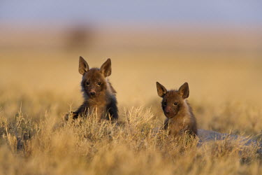 Brown Hyaena cubs - a secretive predator and scavenger of the arid areas of Southern Africa. Africa,carnivores,carnivore,mammal,mammals,hyaena,hyena,hyaenas,hyenas,brown hyaena,brown hyena,scavenger,shaggy coat,furry,cub,cubs,young,shallow focus,negative space,habitat,two,pair,alert,Carnivore
