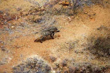 The striped hyena is the smallest of the hyena's having a much smaller skull than the others Africa,carnivores,carnivore,mammal,mammals,hyaena,hyena,hyaenas,hyenas,Kenya,motion,run,running,animal,animals,striped hyena,striped hyaena,scavenger,striped hyenas,striped hyaenas,scavengers,nocturna