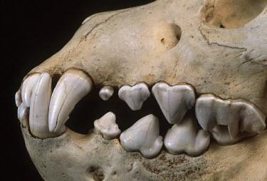 Brown Hyaena skull showing large canine & incisor teeth adapted to tearing flesh and breaking bones Africa,carnivores,carnivore,mammal,mammals,hyaena,hyena,hyaenas,hyenas,brown hyaena,brown hyena,scavenger,skull,bone,bones,teeth,specimen,black background,close-up,close up,Carnivores,Carnivora,Mammal