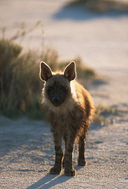 Brown Hyaena on salt pans Africa,carnivores,carnivore,mammal,mammals,hyaena,hyena,hyaenas,hyenas,brown hyaena,brown hyena,scavenger,shaggy coat,furry,low light,evening light,silhouette,silhouettes,shadow,shadows,shallow focus,