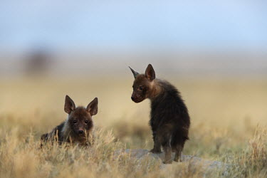 Brown Hyaena cubs - a secretive predator and scavenger of the arid areas of Southern Africa Africa,carnivores,carnivore,mammal,mammals,hyaena,hyena,hyaenas,hyenas,brown hyaena,brown hyena,scavenger,shaggy coat,furry,cub,cubs,young,shallow focus,negative space,habitat,two,pair,Carnivores,Carn