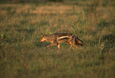 Side-striped jackal hunting for food Africa,carnivores,carnivore,mammal,mammals,jackal,jackals,Side-striped jackal,Canis adustus,hunt,hunting,hunter,grass,shallow focus,low light,warm light,evening,movement,walking,stalking,Chordates,Cho