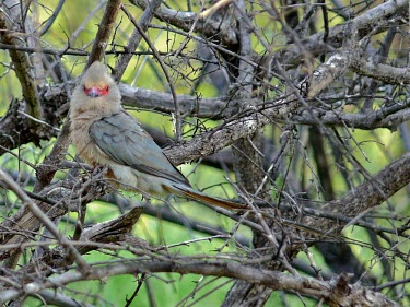 Red-faced mousebird Animalia,Chordata,Aves,Coliiformes,Coliidae,bird,birds,Red-faced mousebird,mousebird,mousebirds,Urocolius indicus,in tree,looking at camera,negative space,thicket,camouflage,adult,side view