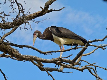 Abdim's stork Animalia,Chordata,Aves,Ciconiiformes,Ciconiidae,Abdim's stork,Abdims stork,stork,storks,Least Concern,in tree,from below,blue sky,adult,perched,Storks,Birds,Herons Ibises Storks and Vultures,Chordates