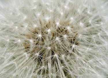 Common Dandelion, Taraxacum officinale, clock Common Dandelion,Taraxacum officinale,dandy,lion,perennial,daisy,family,grassy,grassland,garden,lawn,pest,weed,milk,sap,clock,hairy,pappus,macro,close up,close-up,Dandelion,seeds,seed head,Magnoliopsi