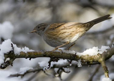 Dunnock - Prunella modularis - adult on tree with snow covering, Wirral, Merseyside - January dunnock,Prunella,modularis,hedge sparrow,hedge,sparrow,common,garden,grey,brown,small,gardens,park,parks,hedge accentor,breed,breeding,single,one,alone,individual,snow,winter,cold,ice,icy,birds,bird,a