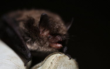 Alcathoe bat Animalia,Chordata,Mammalia,mammal,mammals,Chiroptera,Vespertilionidae,Alcathoe,bat,bats,Alcathoe myotis,Alcathoe whiskered bat,whiskered bat,whiskered bats,portrait,in hand,held,glove,hand,dark backgr