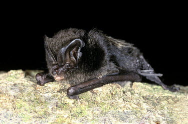 Barbastelle bat full view sitting on branch Barbastelle,Barbastelle bat,bat,bats,mammal,mammals,dark background,shallow focus,negative space,face,ears,tragus,portrait,adult,British bat,British bats,Vespertilionidae,Vesper Bats,Chiroptera,Bats,M