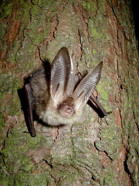 Brown long-eared bat British bat,British bats,British,bat,bats,mammal,mammals,Brown long eared,Brown long-eared,Plecotus,auritus,tree,close up,close-up,looking at camera,night,flash,ears,big ears,tragus,face,Chiroptera,Ba