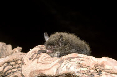 Brandt's bat on branch British bat,British bats,British,bat,bats,mammal,mammals,Brandts,Brandt's,Brandts bat,Brandt's bat,Myotis,brandtii,night,flash,tree,branch,bark,dark background,negative space,Mammalia,Mammals,Chordate