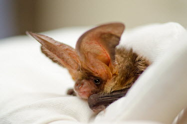 Brown long-eared bat British bat,British bats,British,bat,bats,mammal,mammals,Brown long eared,Brown long-eared,Plecotus,auritus,close up,close-up,ears,big ears,eye,bright eye,tragus,face,shallow focus,cute,glove,gloves,w