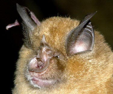 Greater horseshoe bat British bat,British bats,British,bat,bats,mammal,mammals,Greater horseshoe bat,Greater horseshoe,close up,close-up,face,head,night,flash,leaf-shaped,nose,Chiroptera,Bats,Mammalia,Mammals,Old World lea