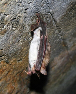 Greater mouse-eared bat British bat,British bats,British,bat,bats,mammal,mammals,Greater mouse-eared,Greater mouse eared,Myotis,hanging,tunnel,roof,shallow focus,adult,Vespertilionidae,Vesper Bats,Chordates,Chordata,Chiropte