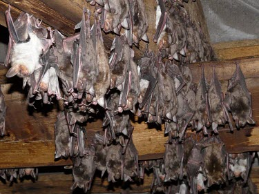 Greater mouse-eared bat British bat,British bats,British,bat,bats,mammal,mammals,Greater mouse-eared,Greater mouse eared,Myotis,hanging,tunnel,roof,shallow focus,adult,group,roost,roosting,beams,rest,resting,Vespertilionidae