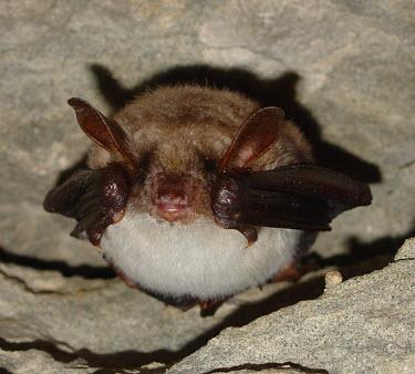 Greater mouse-eared bat British bat,British bats,British,bat,bats,mammal,mammals,Greater mouse-eared,Greater mouse eared,Myotis,hanging,tunnel,roof,shallow focus,adult,roost,roosting,rest,resting,Vespertilionidae,Vesper Bats