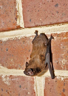 Female juvenile Leisler's bat on brick wall with head downwards British bat,British bats,British,bat,bats,mammal,mammals,juvenile,female,wildlife,legislation,echolocation,Leisler,brick,wall,hang,hanging,cling,clinging,Leisler's bat,Leislers bat,Chordates,Chordata,