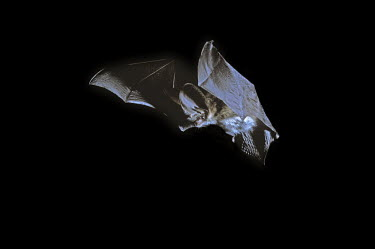 Rare British bat the grey long-eared bat in flight British bat,British bats,British,bat,bats,mammal,mammals,rare,grey long-eared bat,grey long eared bat,grey long-eared,grey long eared,long-eared bats,long eared bats,long-eared bat,long eared bat,echo