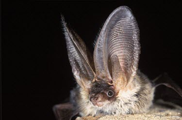 Grey long-eared bat British bat,British bats,British,bat,bats,mammal,mammals,rare,grey long-eared bat,grey long eared bat,grey long-eared,grey long eared,long-eared bats,long eared bats,long-eared bat,long eared bat,echo