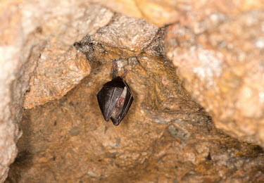 Lesser horseshoe bat British bat,British bats,British,bat,bats,mammal,mammals,wildlife,lesser horseshoe,lesser horseshoe bat,shallow focus,wings,cover,covered,wrapped,abstract,cave,roof,hang,hanging,Lesser horseshoe,Chiro