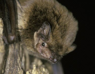 Leisler's bat, head shot British bat,British bats,British,bat,bats,mammal,mammals,wildlife,legislation,echolocation,Leisler,Leisler's bat,Leislers bat,portrait,night,flash,black background,shallow focus,negative space,close-u