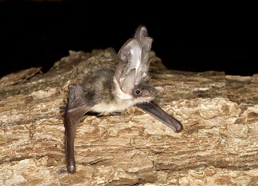 Rare British bat - the grey long-eared bat British bat,British bats,British,bat,bats,mammal,mammals,rare,grey long-eared bat,grey long eared bat,grey long-eared,grey long eared,long-eared bats,long eared bats,long-eared bat,long eared bat,echo
