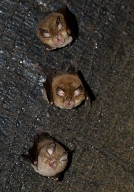 Lesser horseshoe bat British bat,British bats,British,bat,bats,mammal,mammals,wildlife,lesser horseshoe,lesser horseshoe bat,shallow focus,ears,face,loking up,three,group,Lesser horseshoe,Chiroptera,Bats,Mammalia,Mammals,