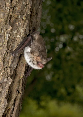 Natterer's bat hanging on tree trunk British bat,British bats,British,bat,bats,mammal,mammals,wildlife,Natterers,Natterer's,Myotis,nattereri,tree,treetrunk,hang,hanging,pretty,shallow focus,negative space,flash,Vespertilionidae,Vesper Ba
