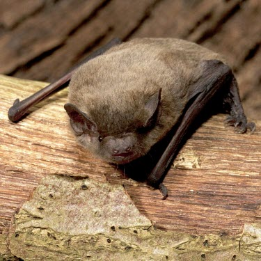 Female Nathusius's pipistrelle on decaying tree branch British bat,British bats,British,bat,bats,mammal,mammals,wildlife,legislation,echolocation,Pipistrelle - Nathusius',Pipistrellus nathusii,Nathusius's pipistrelle,Nathusius pipistrelle,adult,bark,brown