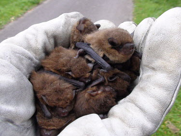 Handful of Soprano pipistrelles British bat,British bats,British,bat,bats,mammal,mammals,wildlife,legislation,echolocation,Pipistrelle - Soprano,Soprano pipistrelle,handful,hand,glove,gloves,in hand,carried,many,group,55-pipistrelle