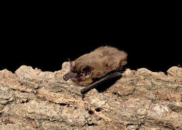 Juvenile male common pipistrelle resting on tree limb British bat,British bats,British,bat,bats,mammal,mammals,wildlife,45-pipistrelle,echolocation,insectivorous,bat-roosts,hibernacula,hibernation,night-flight,Pipistrelle - Common,common pipistrelle,Pipi