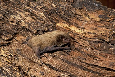 Nathusius's pipistrelle female on tree bark British bat,British bats,British,bat,bats,mammal,mammals,wildlife,legislation,echolocation,Pipistrelle - Nathusius',Pipistrellus nathusii,Nathusius's pipistrelle,Nathusius pipistrelle,adult,bark,brown