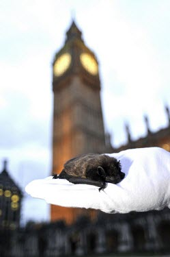 Serotine bat in hand with Big Ben in background British bat,British bats,British,bat,bats,mammal,mammals,wildlife,legislation,echolocation,Serotine,Serotine bat,Eptesicus serotinus,in hand,held,glove,London,UK,Big Ben,clock,tower,Chiroptera,Bats,Ve