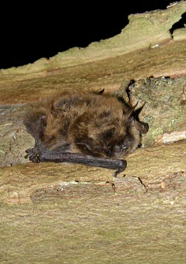 Whiskered bat British bat,British bats,British,bat,bats,mammal,mammals,wildlife,legislation,echolocation,whiskered,whiskered bat,Myotis,mystacinus,flash,tree,bark,Whiskered,Chiroptera,Bats,Vespertilionidae,Vesper B
