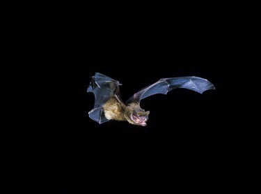 Serotine Flight ^come on^ shot British bat,British bats,British,bat,bats,mammal,mammals,wildlife,legislation,echolocation,Serotine,Serotine bat,Eptesicus serotinus,in flight,flight,flying,wings,echolocating,outstretched,night,flash