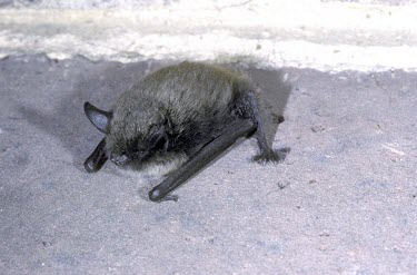 Whiskered bat British bat,British bats,British,bat,bats,mammal,mammals,wildlife,legislation,echolocation,whiskered,whiskered bat,Myotis,mystacinus,flash,Whiskered,Chiroptera,Bats,Vespertilionidae,Vesper Bats,Chorda