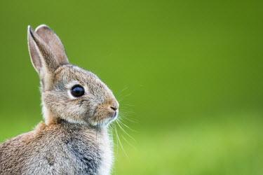 European rabbit portrait rabbit,rabbits,mammals,shallow focus,negative space,portrait,close up,close-up,cute,whiskers,ears,eye,green background,Oryctolagus cuniculus,Rabbits, Hares,Leporidae,Mammalia,Mammals,Lagomorpha,Hares