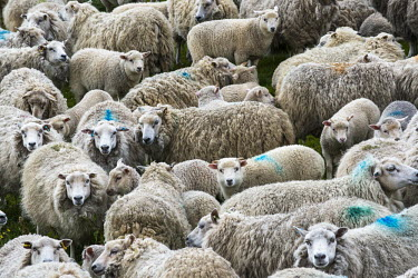 Shetland sheep gathered in pen before shearing domesticated,sheep,Ovis aries,Shetland sheep,pen,group,shearing,wool,fleece,faces,mass,farming,Sheep