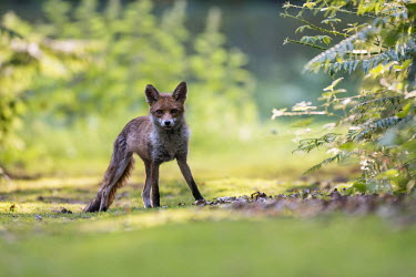 Red fox cub on forest track in late evening light fox,foxes,mammals,nature,wildlife,cub,young,looking at camera,shallow focus,negative space,grass,alert,bracken,sunshine,shade,Red fox,Vulpes vulpes,Chordates,Chordata,Mammalia,Mammals,Carnivores,Carni